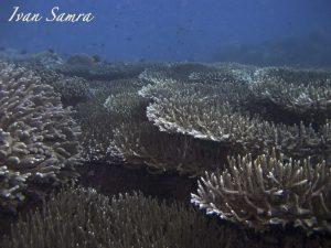 acropora corals Timor Leste